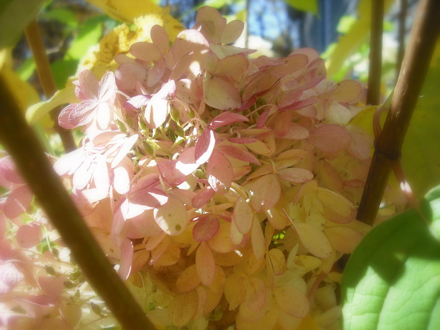 Flower Photograph - Hydrangea by John Julio