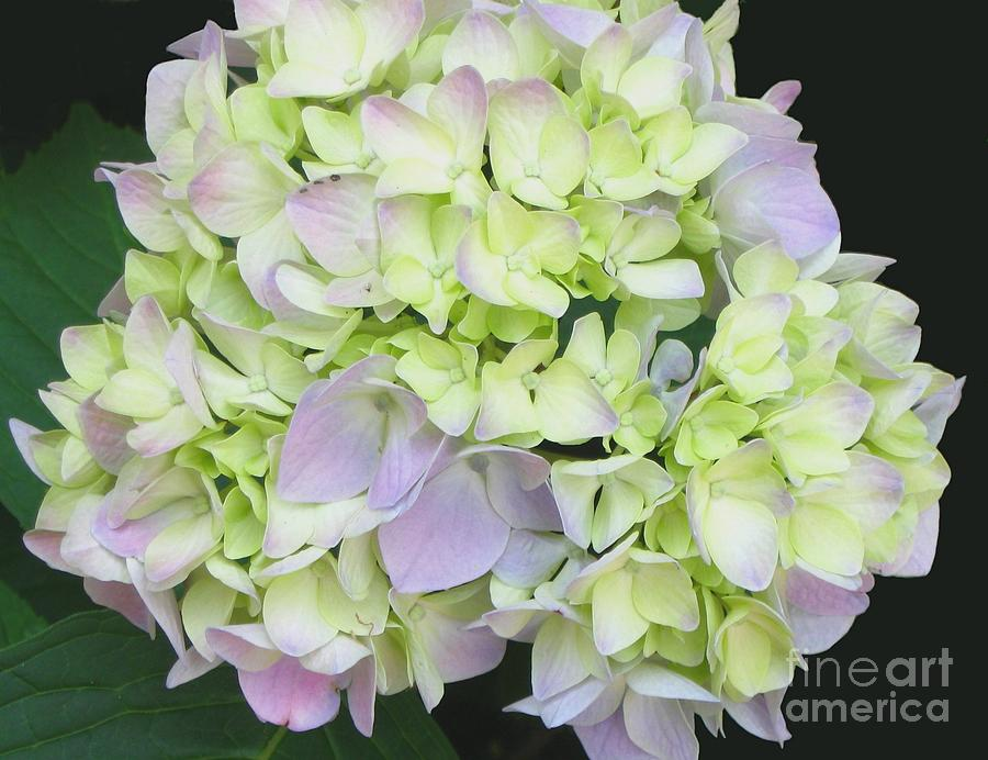 Flower Photograph - Hydrangea by Linda Vespasian