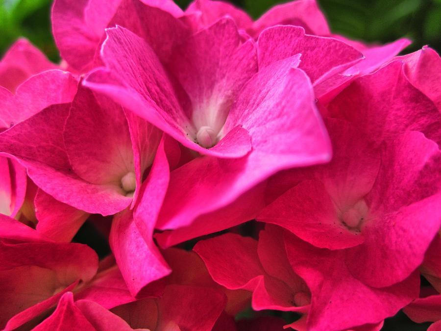 Hydrangea Love by Spencer Hughes