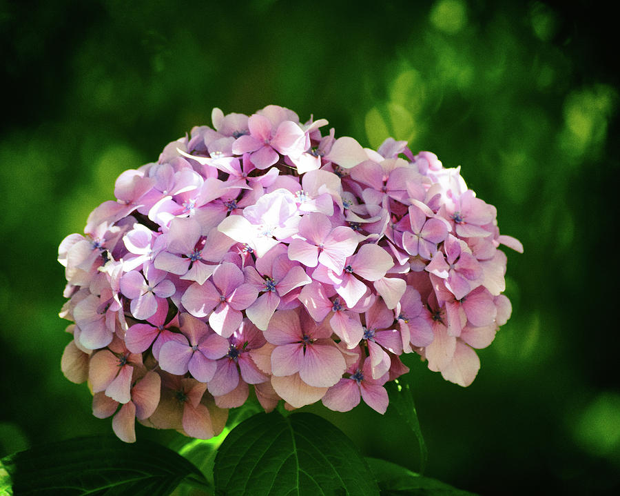 Hydrangea No. 4-1 by Sandy Taylor