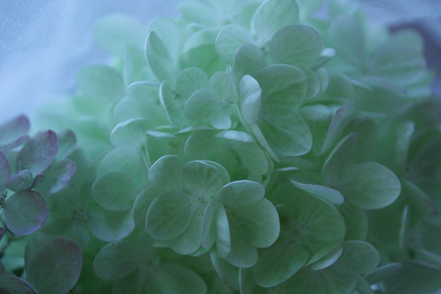 Hydrangea Repose Photograph by Nancy TeWinkel Lauren