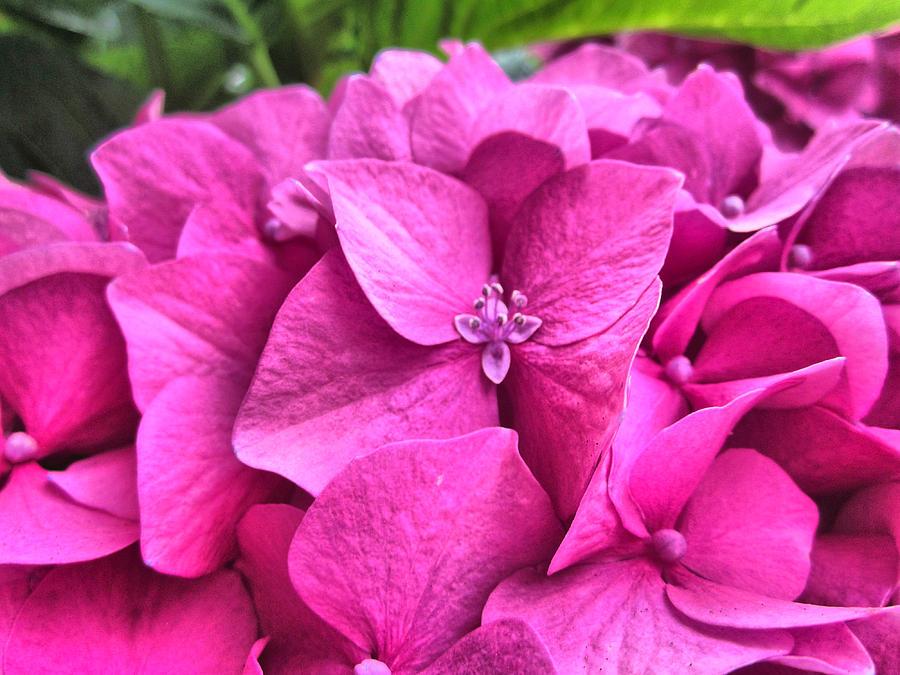Hydrangea Romance by Spencer Hughes