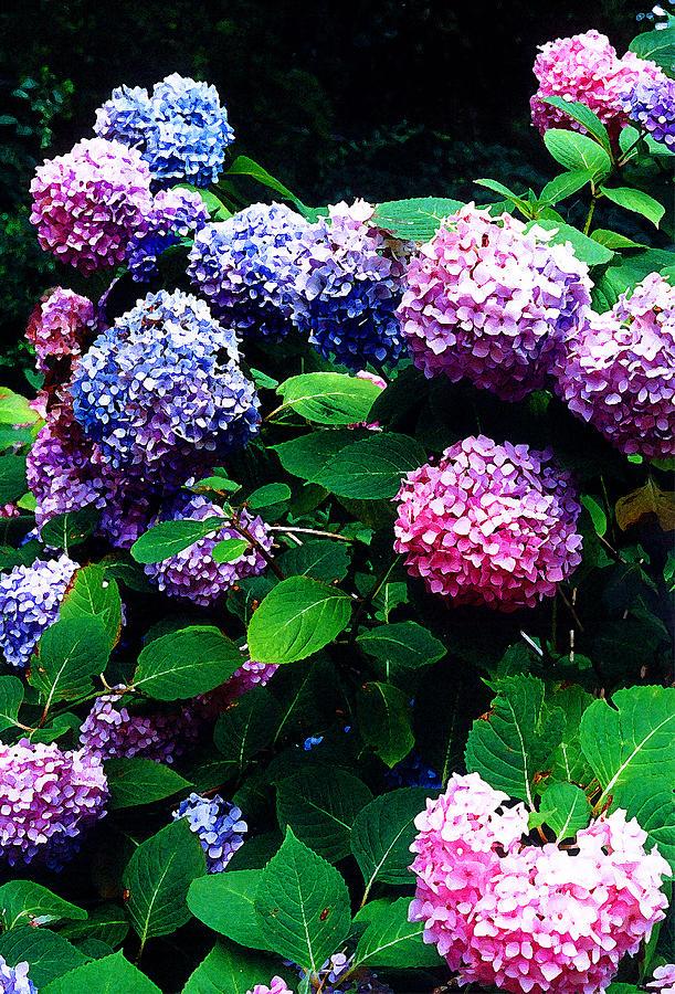 Flowers Photograph - Hydrangeas  by Nancy Mueller