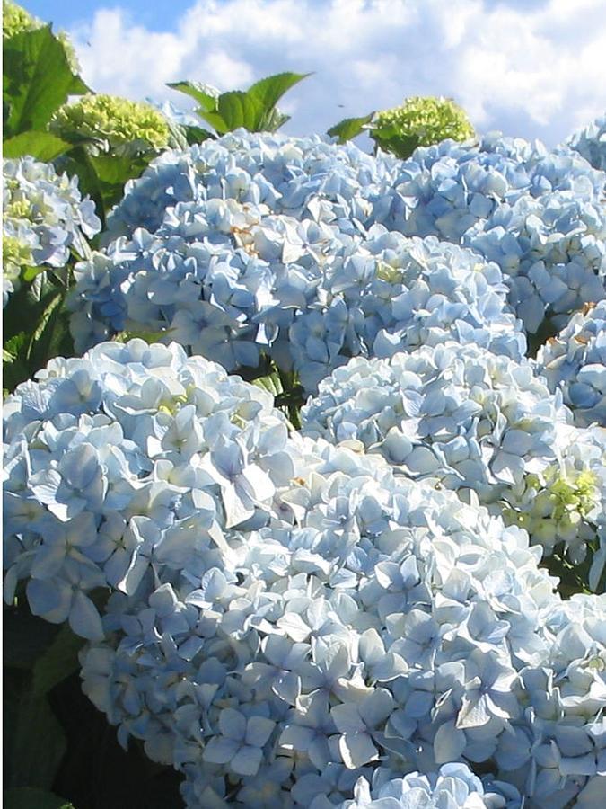 Blue Hydrangea Photograph - Hydrangeas by Valerie Josi