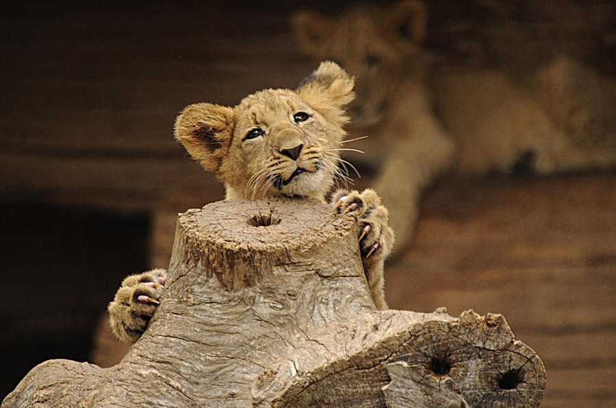 Lion Photograph - I Can Do This by Keith Lovejoy