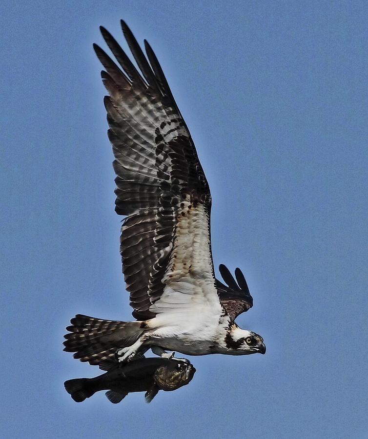 Osprey Photograph - I Can Fly by Linda C Johnson