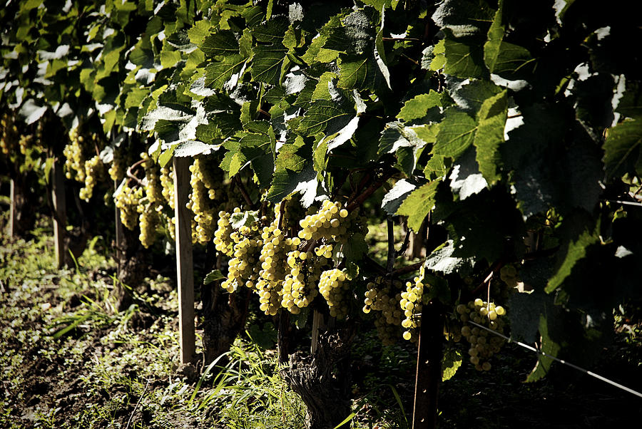 Wine Photograph - I Heard It Through The Grapevine by Cabral Stock
