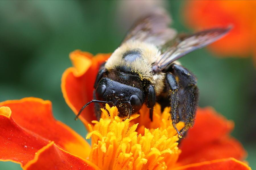 Bug Photograph - I Like Pollen  by Jason Hochman