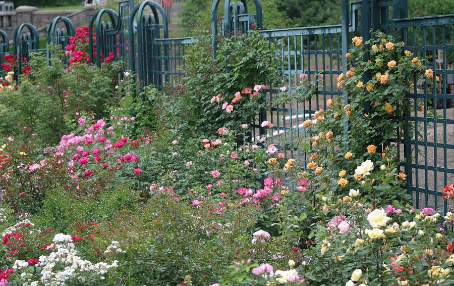I Never Promised You A Rose Garden Photograph by Living Color ...