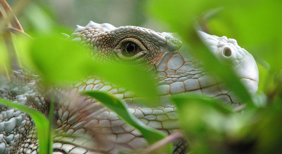 Lizard Photograph - I See You by April Camenisch