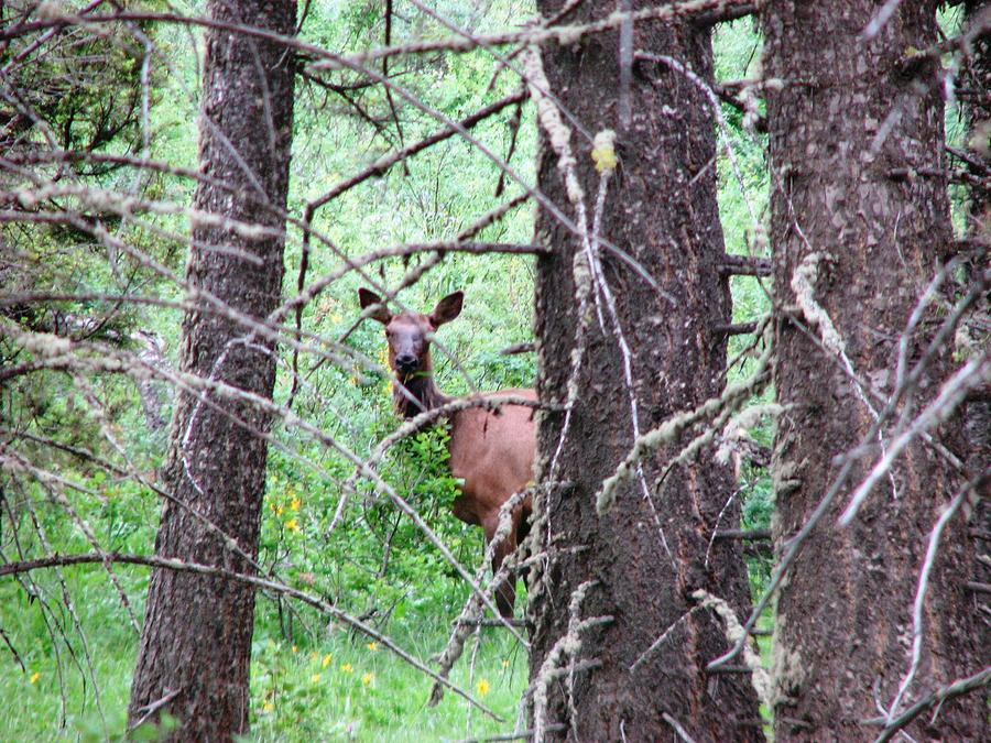 Elk Photograph - I See You by Chad Hinckley