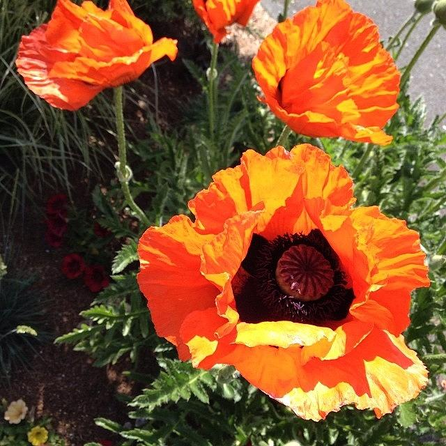 I Take This Perfect Poppys Photo Photograph by Jamie Francis