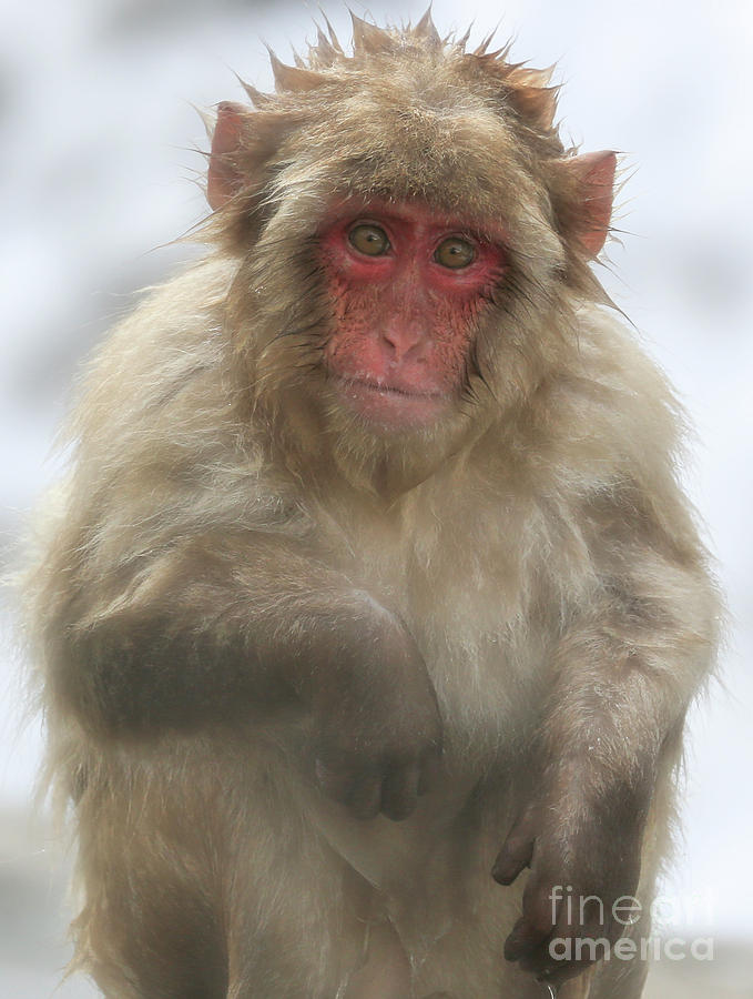 Snow Monkeys Photograph - I Think I Should Have Stayed In The Water by Leigh Lofgren