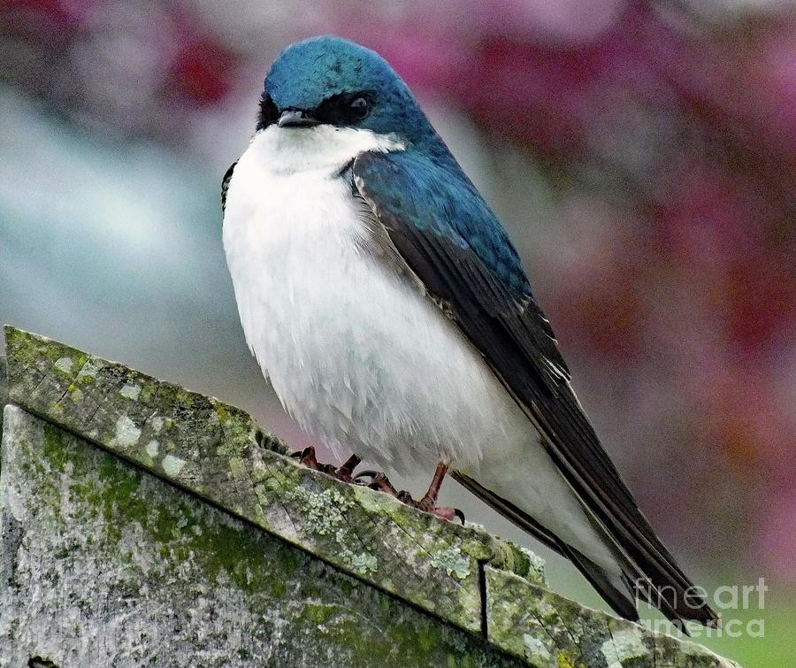 I Want The Nest Box - Tree Swallow Photograph
