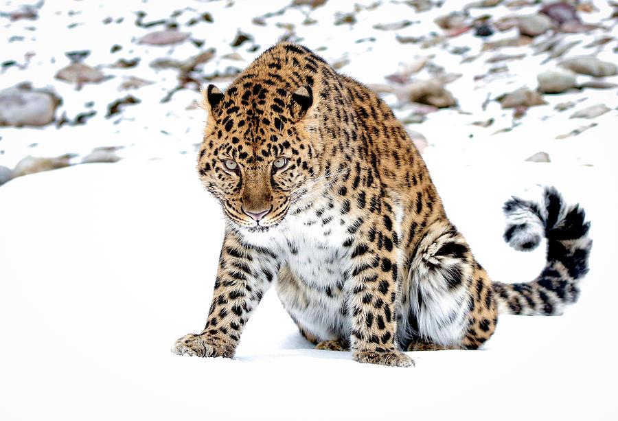 Leopard Photograph - I Want You by Athena Mckinzie