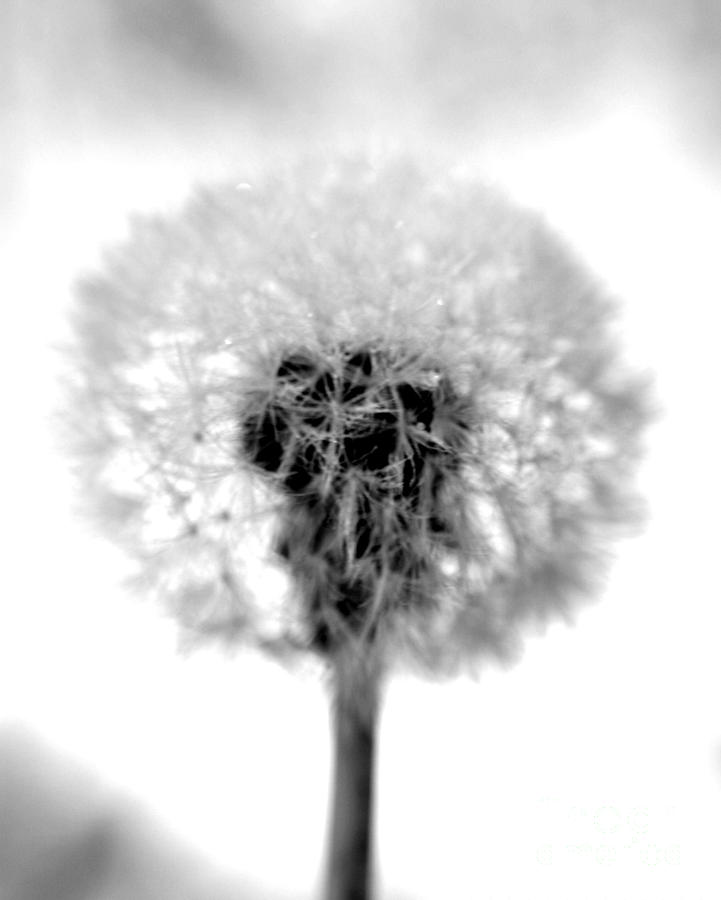 Dandelion Photograph - I Wish In Black And White by Valerie Fuqua