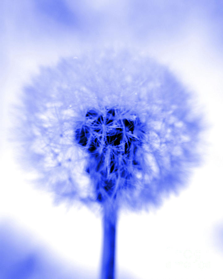 Dandelion Photograph - I Wish In Blue by Valerie Fuqua