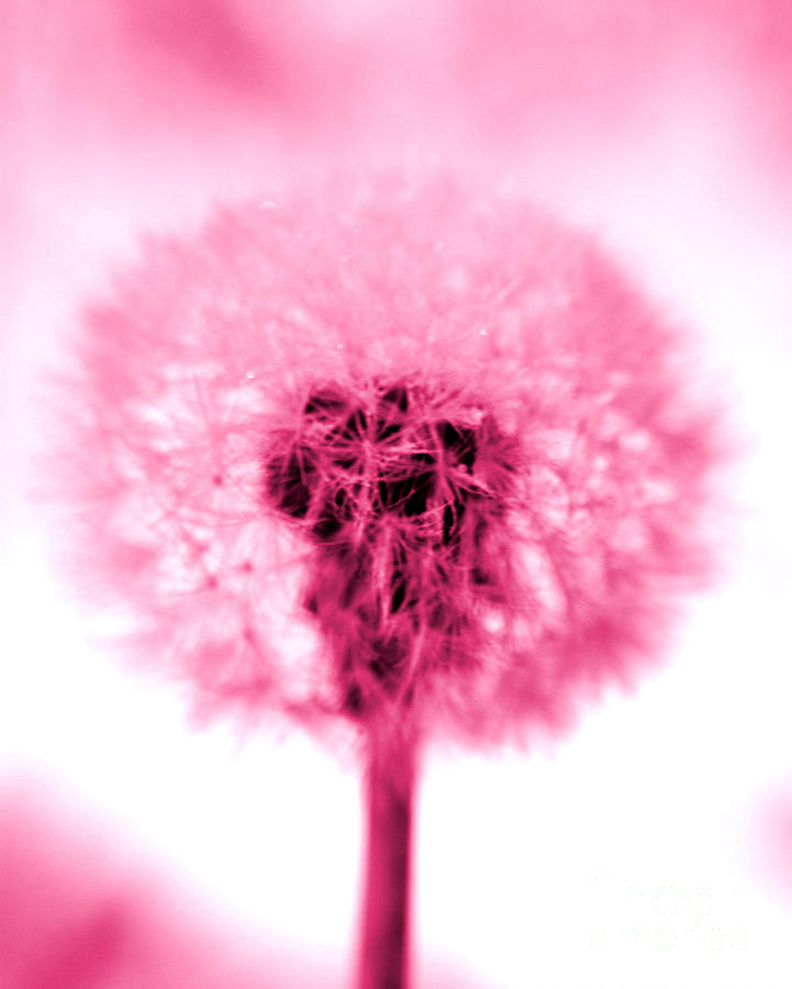 Dandelion Photograph - I Wish In Pink by Valerie Fuqua