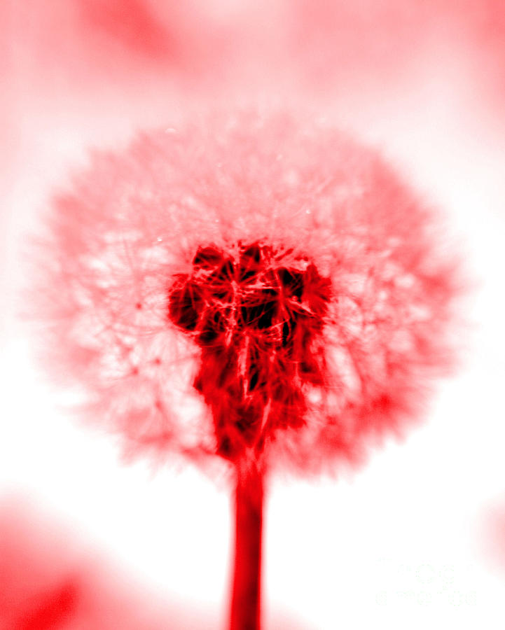Dandelion Photograph - I Wish In Red by Valerie Fuqua
