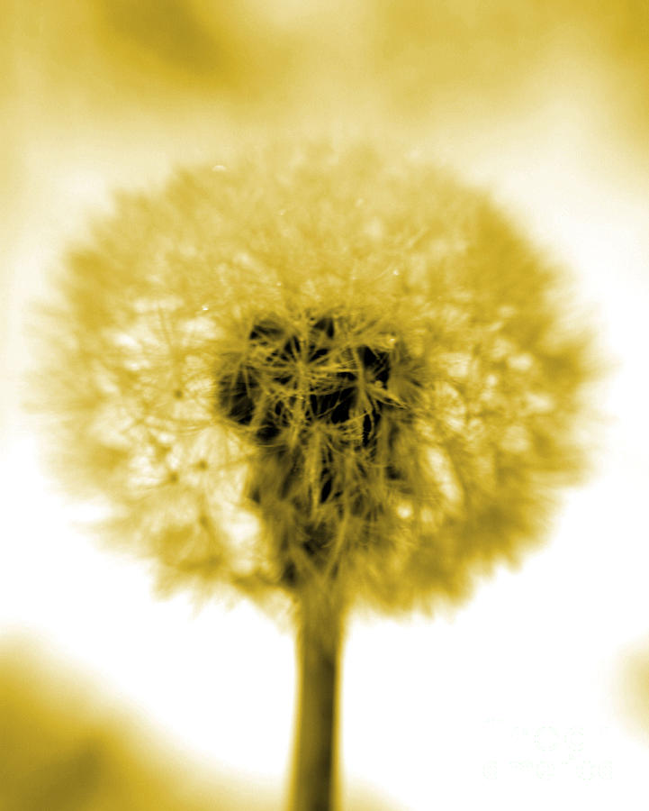 Dandelion Photograph - I Wish In Yellow Gold by Valerie Fuqua
