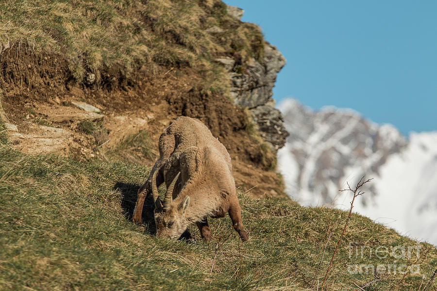 Ibex on the Mountains by Fabrizio Malisan
