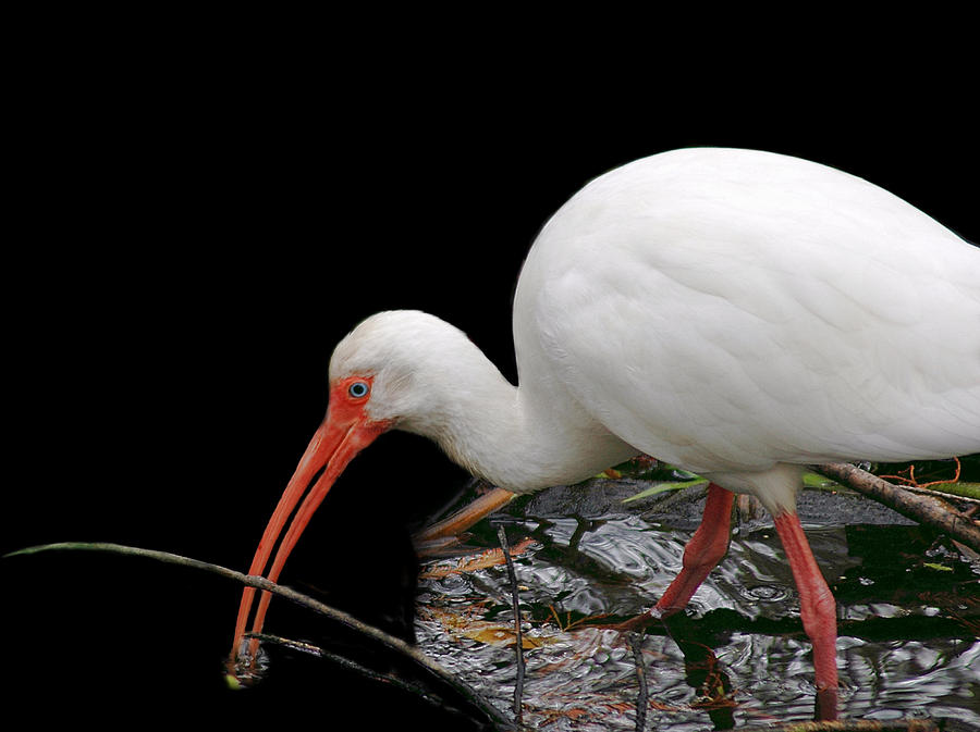 Ibis 4 by David Weeks