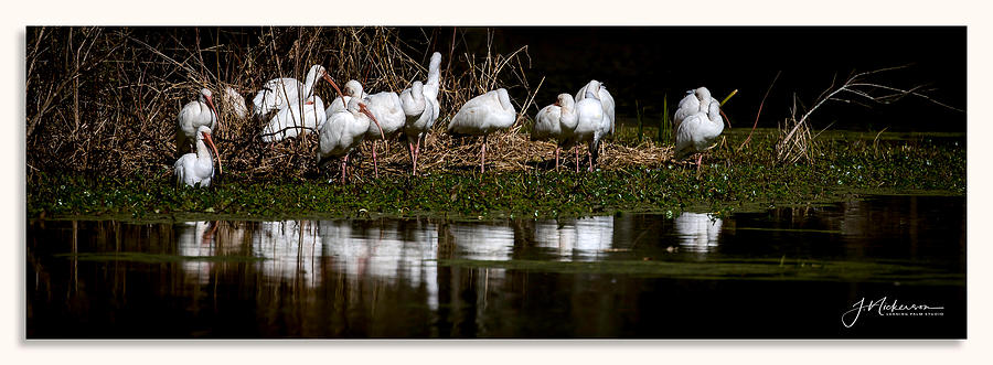 Ibis Flock by John Nickerson