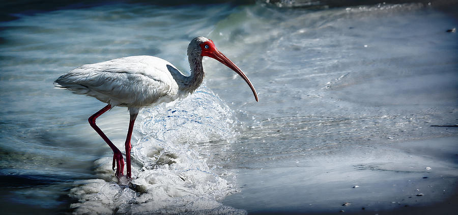 Ibis in the Surf by Andrew Chianese