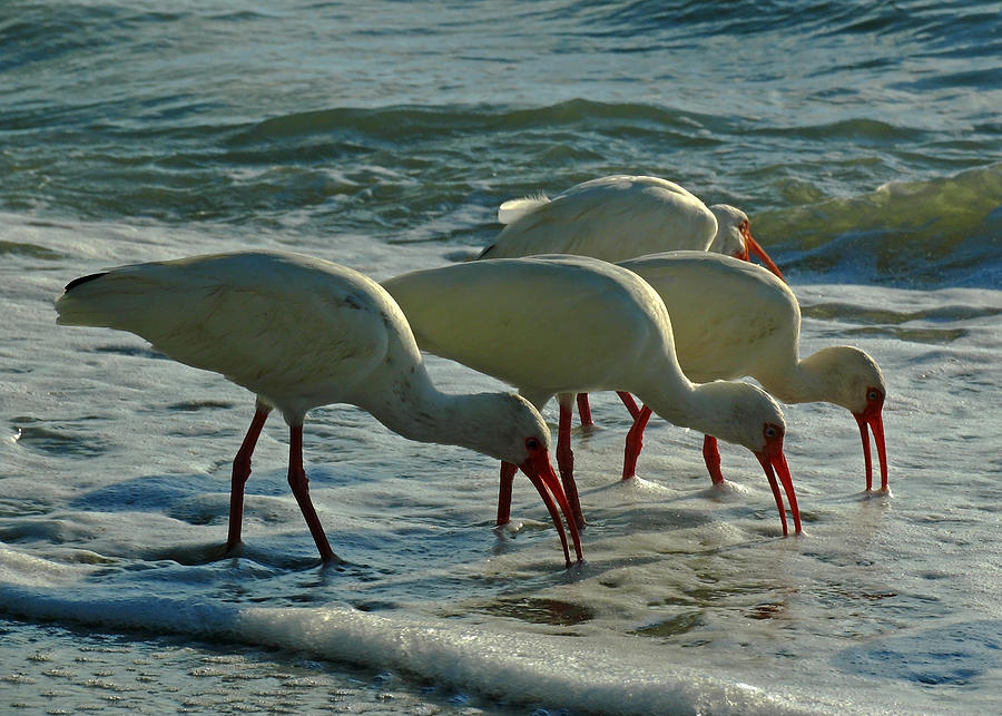 Ibis Photograph - Ibises At Bowman by Juergen Roth