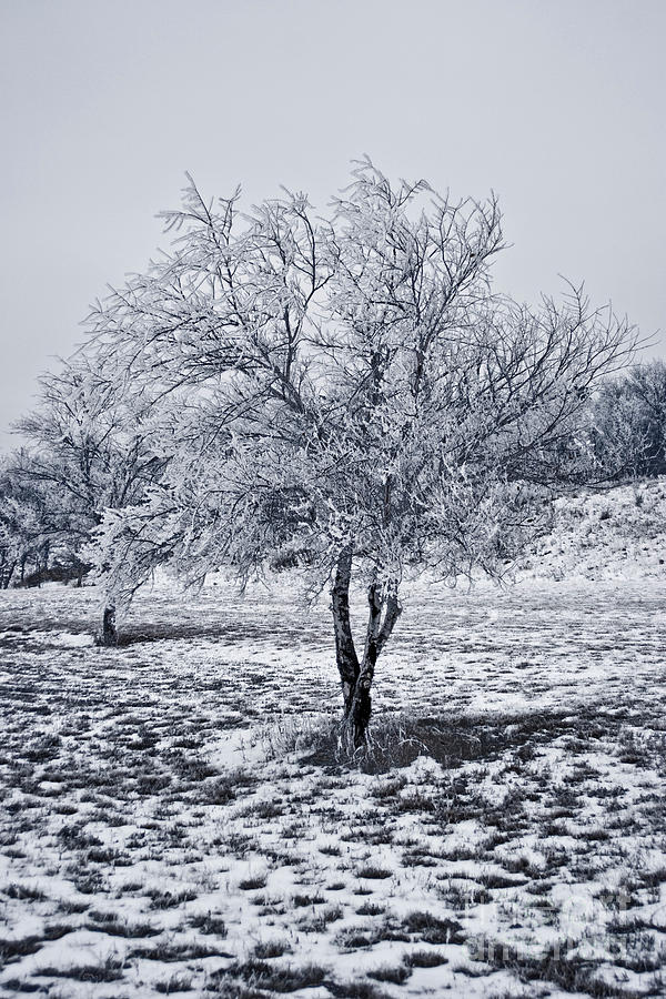 Ice Photograph - Ice Covered Tree by James Jones