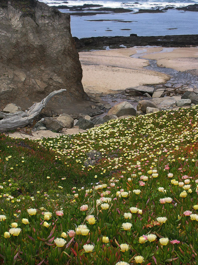 Landscape Photograph - Ice Plants On Moss Beach by Karen  W Meyer