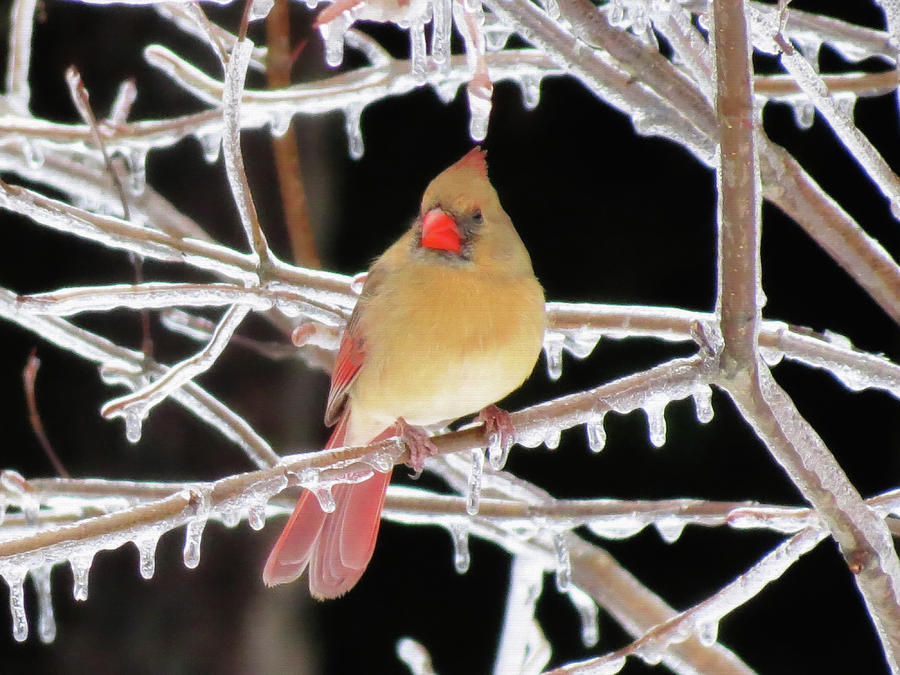 Cardinal Photograph - Ice Princess by MTBobbins Photography