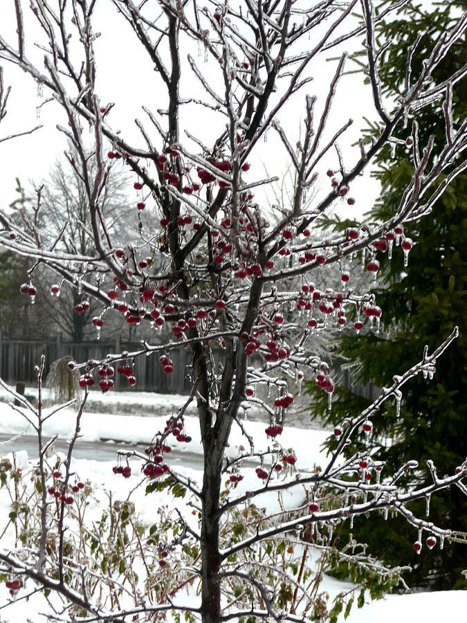 Tree Photograph - Iced Crab Apple Tree by Dmytro Toptygin