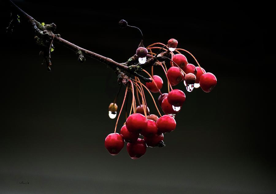 Red Photograph - Iced Crab Apples by Bill Linn