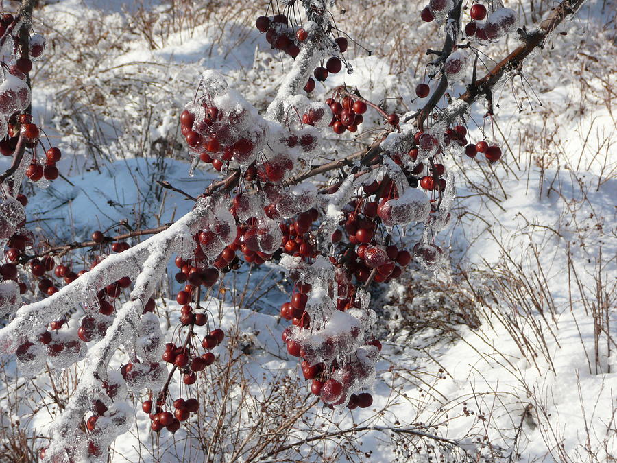 Tree Photograph - Iced Crab Apples by Dmytro Toptygin