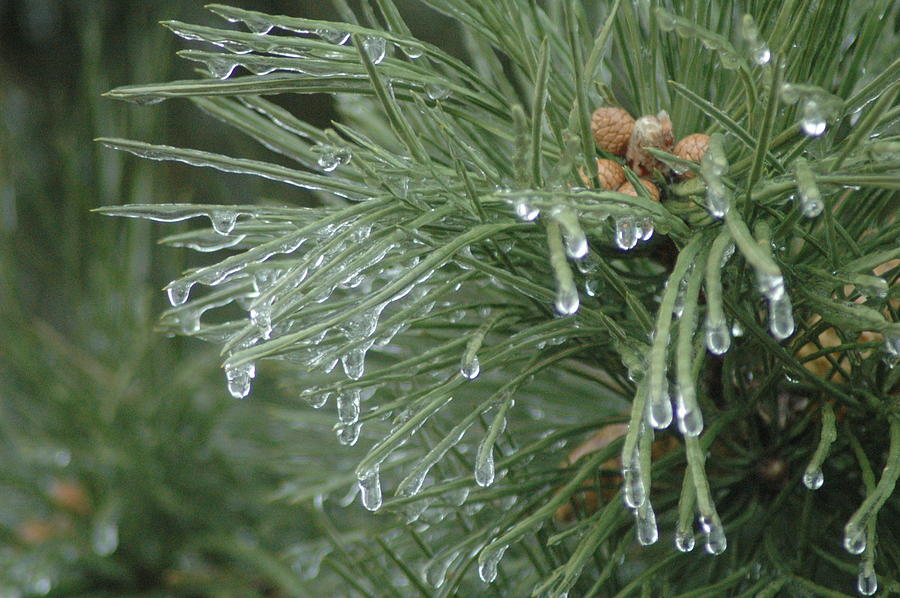 Nature Photograph - Iced Pine by Kathy Schumann