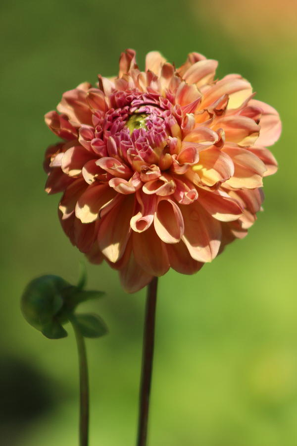 Iced Tea Dahlia In Marzipan And Milano Tones Photograph By