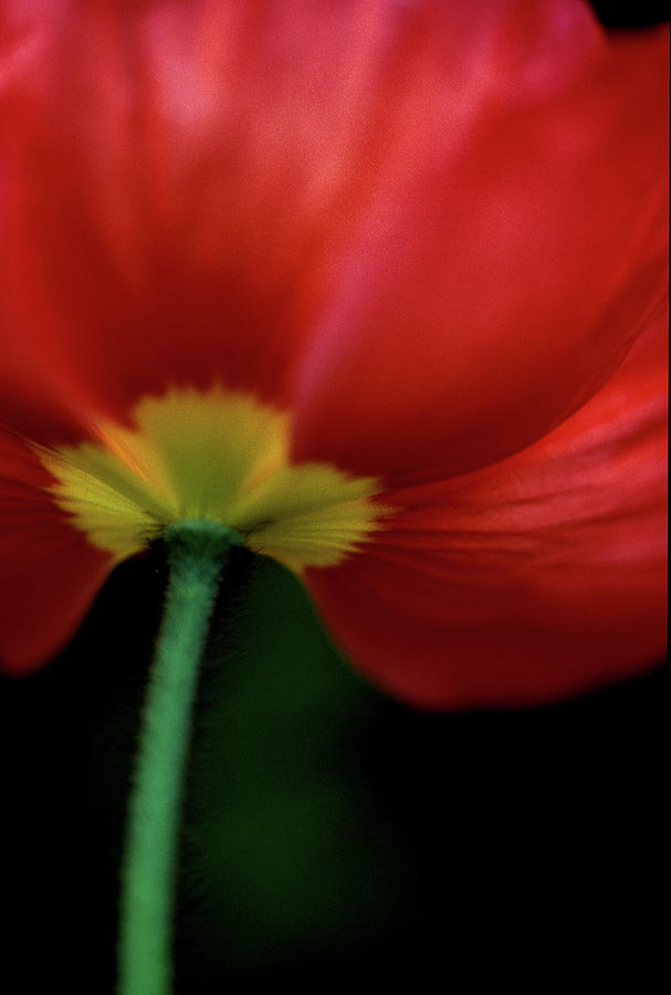 Poppies Photograph - Iceland On Black by Kathy Yates