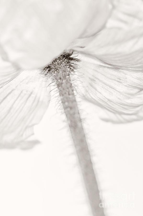 Poppy Photograph - Iceland Poppy by Silke Magino