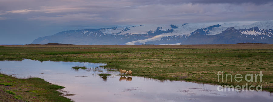 Iceland Photograph - Iceland Sheep Reflections Panorama  by Michael Ver Sprill