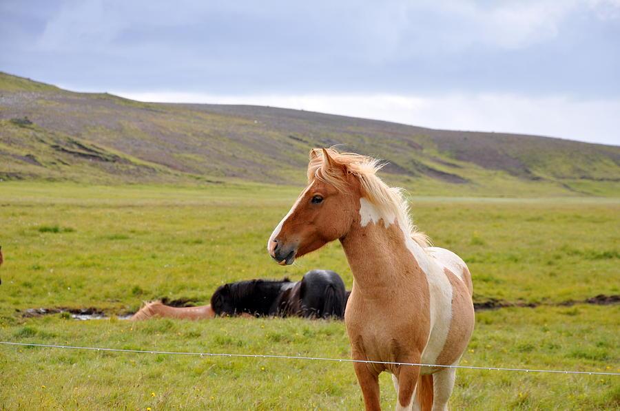 Iceland Photograph - Icelandic Horse by Ambika Jhunjhunwala