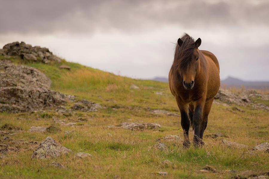 Icelandic Horse by Chris McKenna