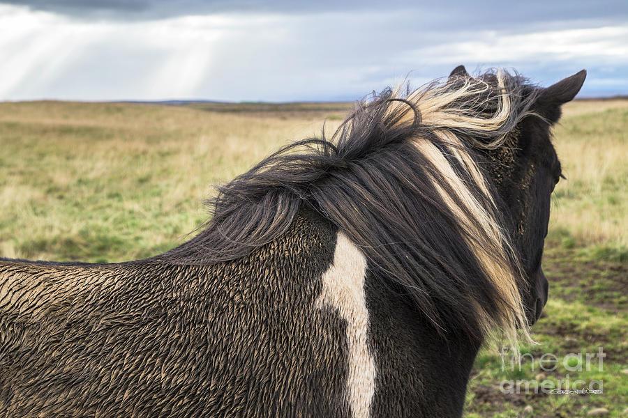 Icelandic Horse by Gordon Wood