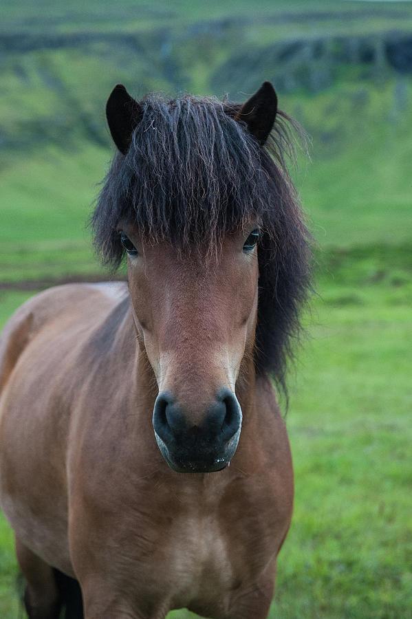 Icelandic Horse Photography Photograph