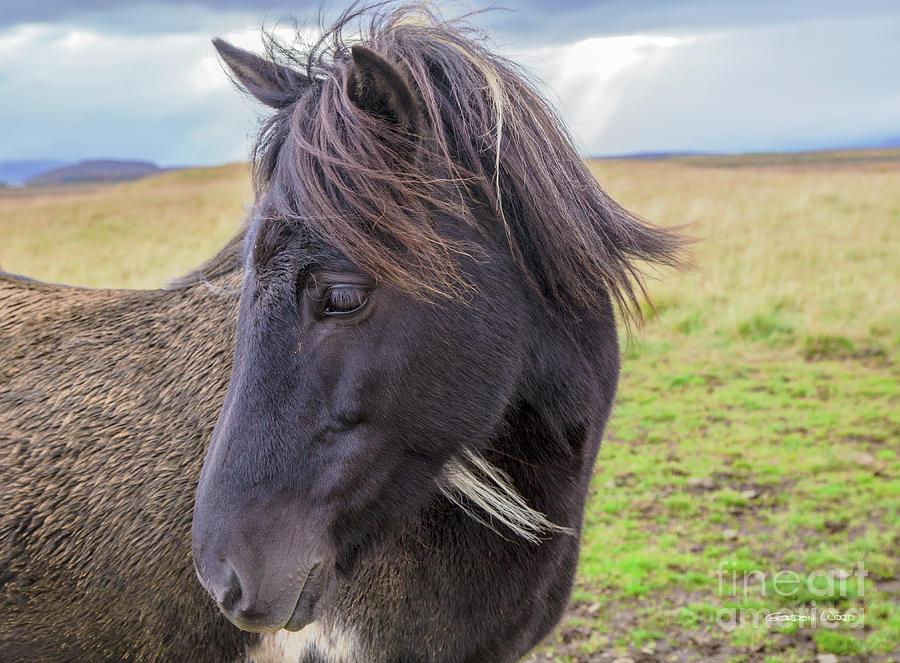 Icelandic Horse - Head by Gordon Wood