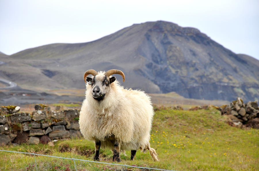 Sheep Photograph - Icelandic Sheep by Ambika Jhunjhunwala
