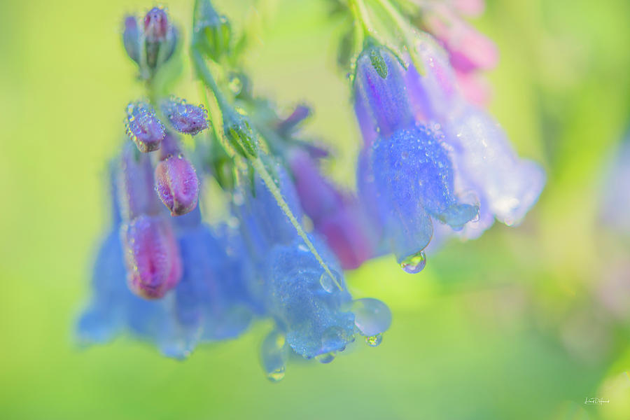 Nature Photograph - Idaho Bluebells Morning Dew by Leland D Howard