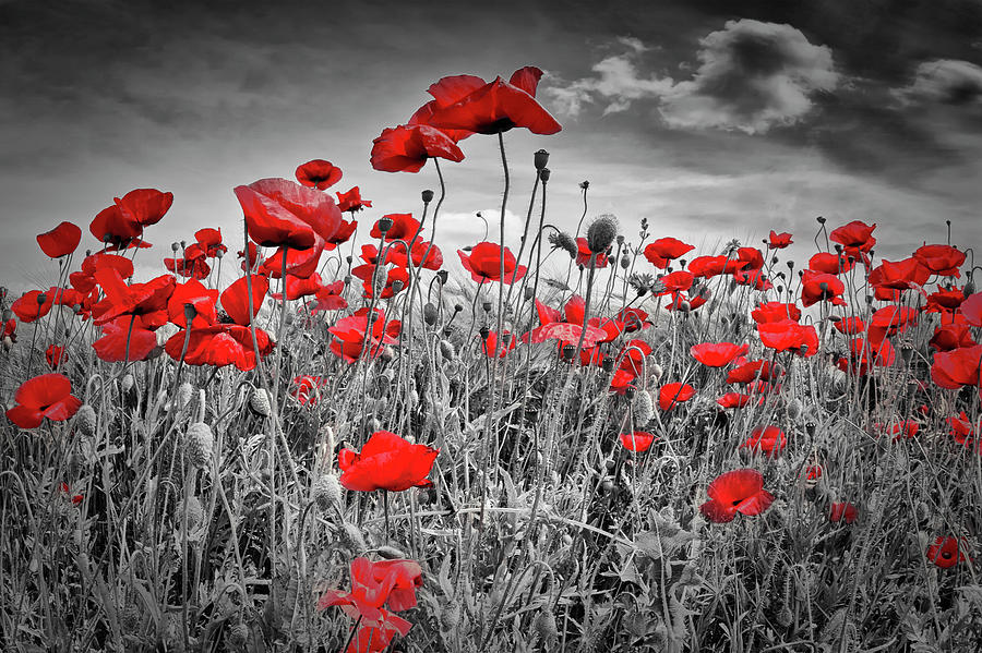 Angiosperms Photograph - Idyllic Field Of Poppies Colorkey by Melanie Viola