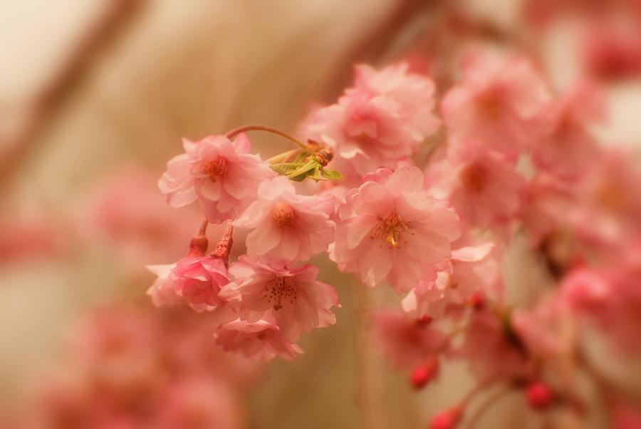 Cherry Blossom Tree Photograph - If Only For A Moment by Angie Tirado