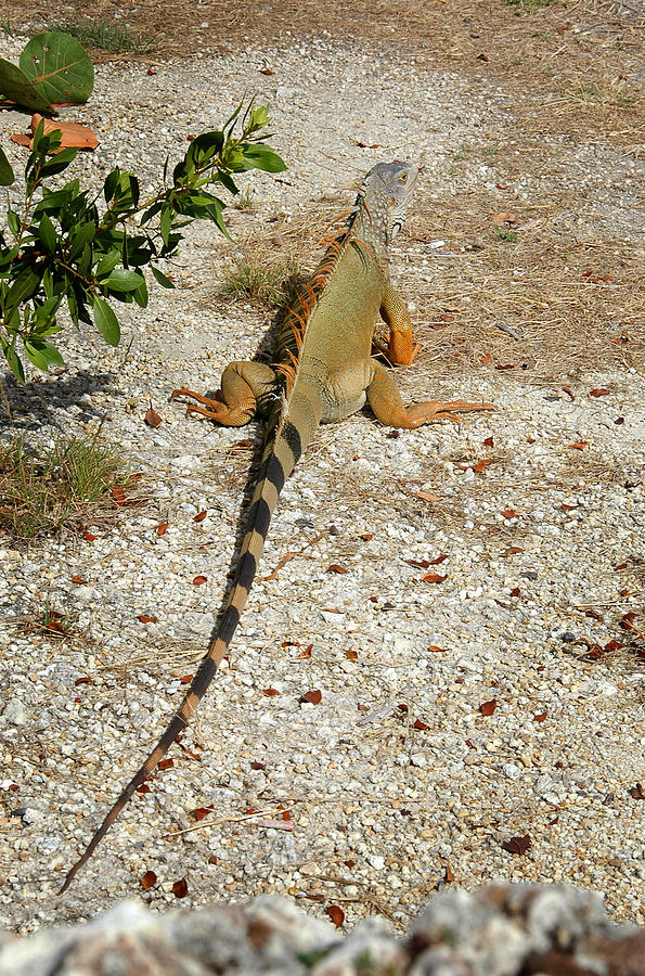 Iguana Photograph - Iguana - Key Largo by Frank Mari